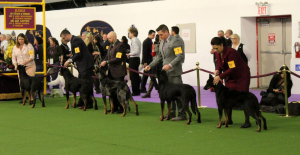 Westminster Best of Breed 2017